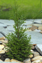 Little thuja in the ground among the rocks