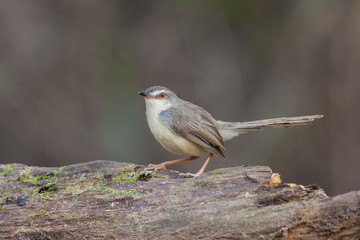 Plain prinia on log,thailand