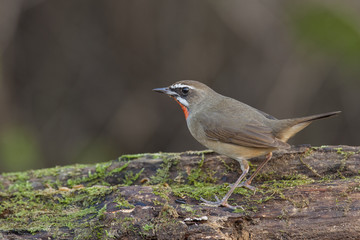 Siberian rubythroat stand on log,thailand