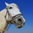 Head of a horse in a harness against the sky