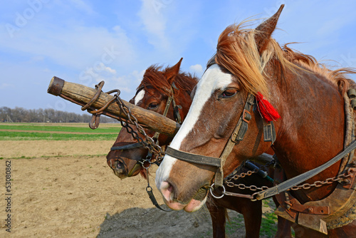 . Heads of horses in a harness against a spring field