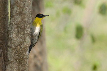 Black-headed woodpecker on tree,thailand