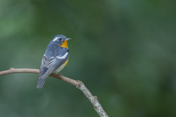 Mukimaki flycatcher on branch,thailand