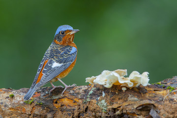 White-throated rock-thrush on log, thailand