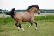 Welsh Cob Pony rennt über die Weide