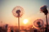 Real field and dandelion at sunset - 53085603