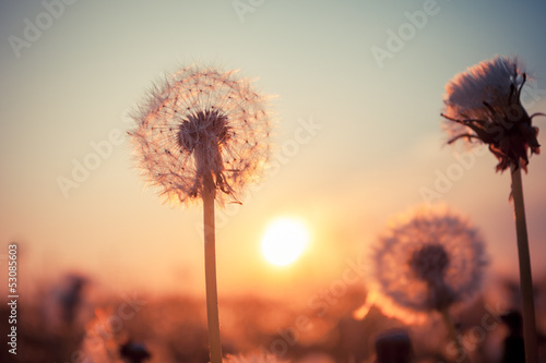 Real field and dandelion at sunset|53085603