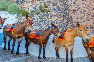 Greece Santorini island in Cyclades donkeys of the islands are u
