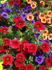 Calibrachoa colorful mix