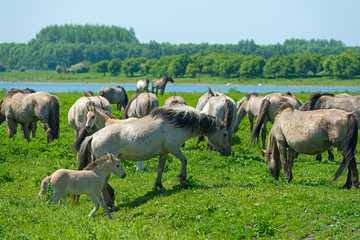Wild horses in a sunny meadow in spring