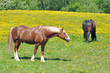 Horses Grazing In Summer Meadow