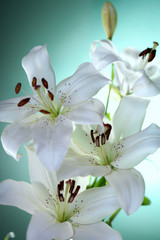 white lily on green