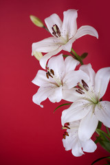 white lily isolated on red