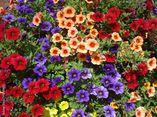 Colorful calibrachoa background