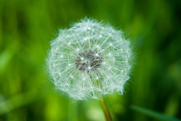 Dandelion in green field