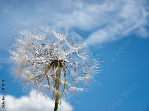 Dandelion on the wind