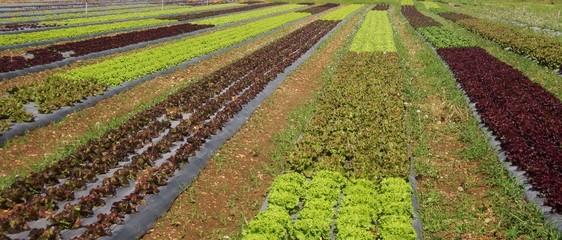 Paysage d'agriculteurs.Les salades