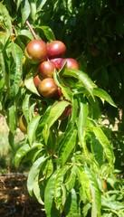 les futures récoltes de fruits