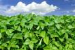 Soybean field