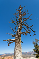Toter Baum im Grand Canyon