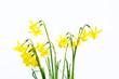 Fresh Springtime daffodils