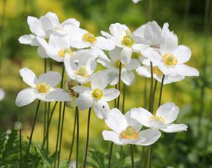 Цветы ветреницы лесной