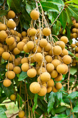 longan tropical fruit on the tree