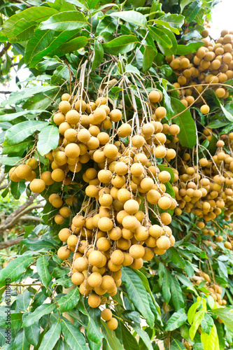 Tropical fruits longan on the tree