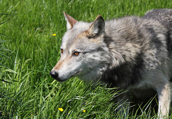 Watchful Wolf in the grass