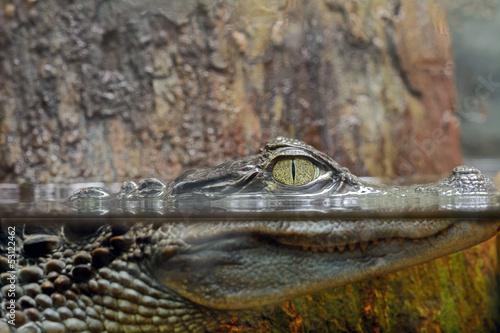 Plexiglas Krokodil Caimano dagli occhiali