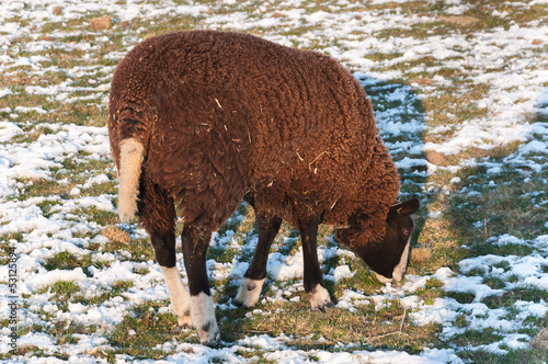 Grazing sheep in a snowy meadow