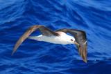 Black-browed albatross (Diomedea melanophris) in Australia poster