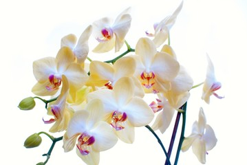 close up of white orchid isolated