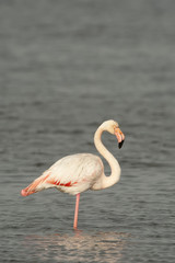 Isolated Pink Flamingo looking at you