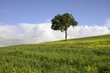A solitary tree on a rape field in Tuscany