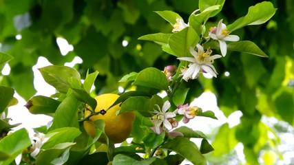 Zitrone am Baum vid 01