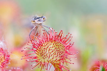 damselfly sitting on sundew