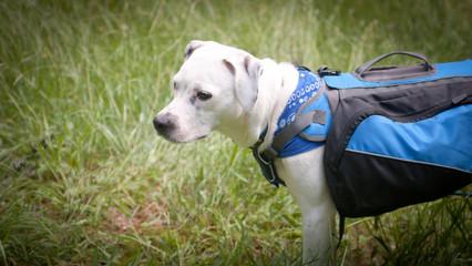 Trail White Dog