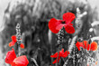 canvas print picture - Poppy - For Remembrance Day