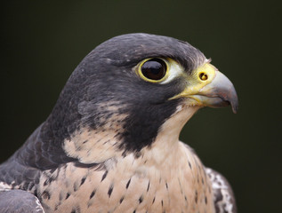 Peregrine Falcon Profile Close-Up (Falco peregrinus)