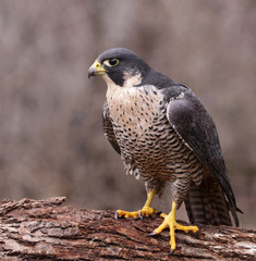 Peregrine on a Log (Falco peregrinus)
