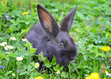 Baby black rabbit in grass - 53147821