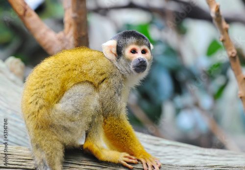 Squirrel monkey sits on a branch