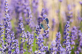 Beautiful butterfly and lavender flowers