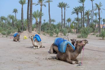 Dromedar Camels near Bedouin Oasis