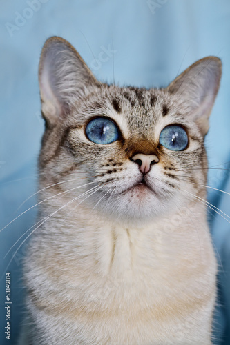 portrait of blue-eyed white cat