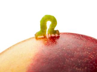 Codling moth caterpillar on peach