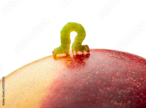 Codling moth caterpillar on peach