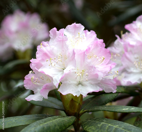 Papiers peints Azalea Blooming Rhododendron (Azalea) close-up