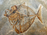 ancient fossil of a fish of a breed extinct for millions of year poster